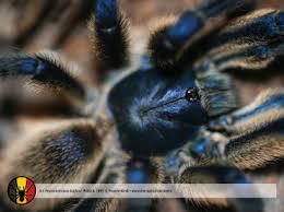 world tarantula archieven theraphosidae
