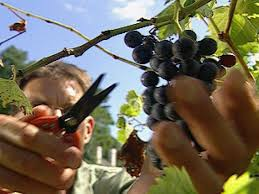 how to grow grapes how tos diy