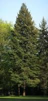 32 best pinaceae images on pinterest backyard ideas evergreen
