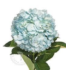 wholesale hydrangeas painted hydrangeas buy bulk flowers free shipping bloomingmore
