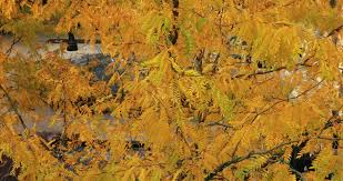 salt lake city utah oct 2016 beautiful golden yellow fall