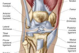 Knee Anatomy Pics Anatomy Of The Left Knee Human Anatomy Library