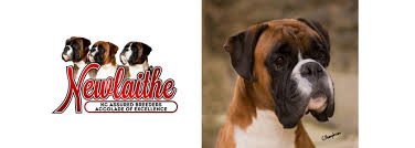 boxer dog yorkshire boxer stud dogs show team