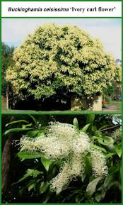 native plants south australia 56 best australian native trees images on pinterest native