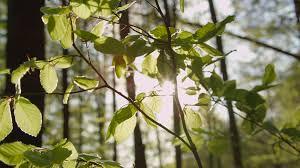 slow motion closeup sun shining through tree leaves rustling in