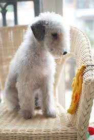 feeding a bedlington terrier best 10 blue whippet ideas on pinterest italian greyhound dog