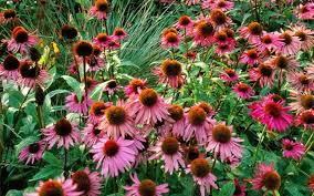 how to grow echinacea those lazy crazy daisies of summer telegraph