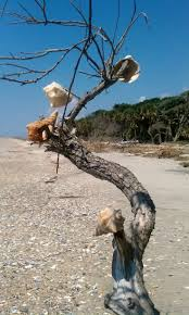 South Carolina travelling salesman images 92 best edisto island images south carolina botany jpg