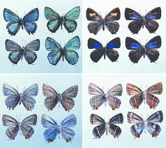 four species of chrysozephyrus butterflies left and right