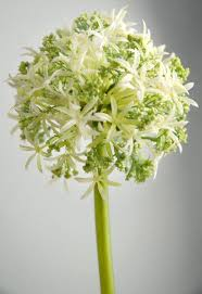 allium flowers flowers white green spray 31in