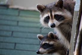 hungry raccoon gang terrorizes west harlem tenants new york post