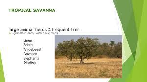 Tropical Savanna Dominant Plants - exploring terrestrial u0026 aquatic biomes ppt video online download