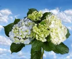 wholesale hydrangeas 1 2 blue 1 2 white hydrangea upstate flower market