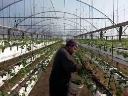 palestine crops