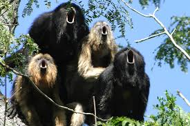 howler monkeys to choose between big balls and big bawls