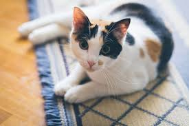 calico cats photo gallery colorful tri colored cats