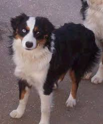 australian shepherd eye diseases pint size mini aussies and mini american shepherds mini aussie