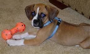 boxer boxer u0026 beagle mix a k a boggle dog u2013 breed info