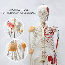 Joints Human Anatomy Online Buy Wholesale Human Skeleton From China Human Skeleton
