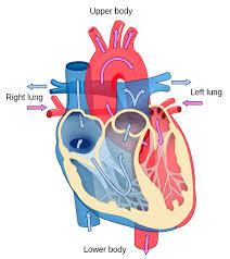 Diagram Heart Anatomy Simple Human Heart Diagram For Kids Png 500 560 Homeschooling