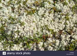 soil covered of white soft lichens and small plants in norway