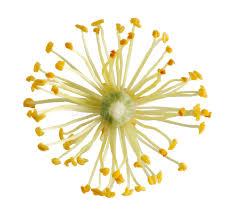 linden flower linden flower stock photography image 12803462