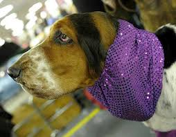 bluetick coonhound westminster westminster dog show 2011 the contestants prepare l a