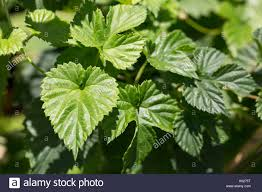 leaves hop vine plant green stock photos u0026 leaves hop vine plant