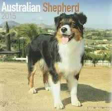 hiking with australian shepherds australian shepherd calendar only dog breed australian shepherds