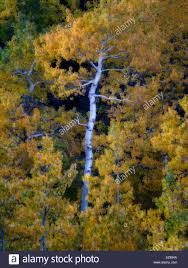 aspen trees fall color eastern sierra nevada mountains stock