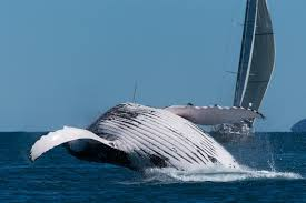 Whale by Whale Season In The Whitsundays