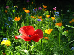 native plants in oregon replace your high maintenance lawn with easy care wildflowers