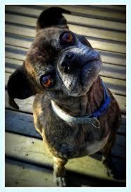 pug x boxer dog 23 best boston terrier pug mix buggs images on pinterest pug