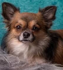 long hair chihuahua hair growth what to expect long haired chihuahuas the chihuahua information center