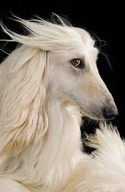 afghan hound trainability afghan hound my mom is in love with these dogs and i have had