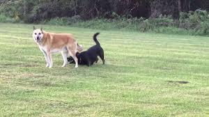 how to groom a belgian sheepdog husky corgi horgi mix playing with belgian shepherd dogs youtube
