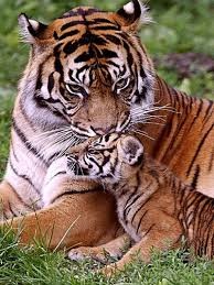 bengal tiger and cub bengal tiger portraits photographs