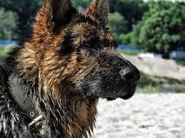 belgian shepherd for sale in india best shampoo for german shepherd dogs u0026 puppies bathing guide
