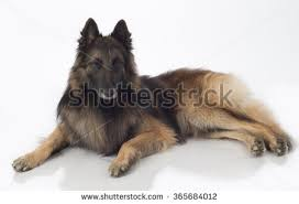belgian sheepdog tervuren three dogs belgian shepherd tervuren sitting stock photo 344027606