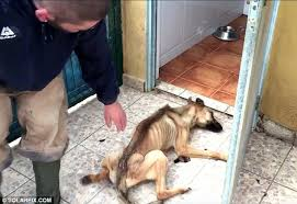 belgian shepherd stomach cancer incredible recovery of starving puppy nicknamed spaghetti in spain