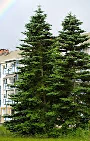 immergrüne bäume differenzierung garten gartenarbeit