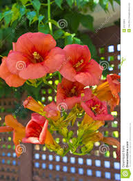 orange flowers of a climbing plant in a garden stock photo