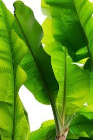 best 25 banana plants ideas on pinterest grow banana tree how