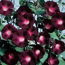 morning glory u0027kniolas black night u0027 ipomoea purpurea convolvulus