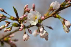 eight things you probably don t about flowering cherry trees
