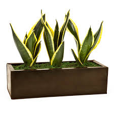 shop exotic angel plants dark copper zen garden in 6 88 quart