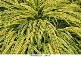 variegated ornamental grass stock photos variegated ornamental