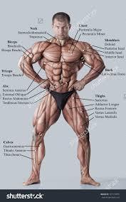 human male muscle anatomy image collections learn human anatomy