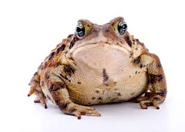 How To Get Rid Of Cane Toads In Backyard Let The Experts Handle Cane Toad Removal In Fort Myers