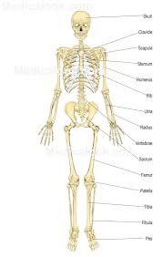 rabbit skeletal anatomy gallery learn human anatomy image